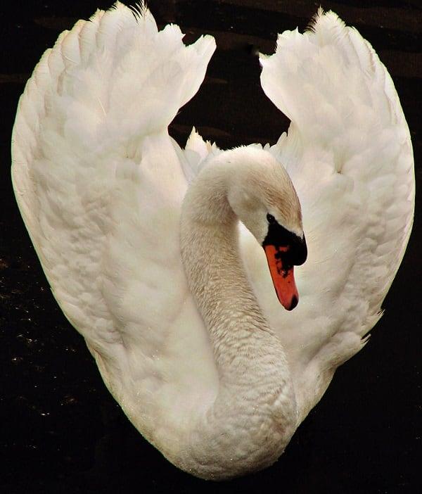 768px-White_Swan_dsc01208-nevit