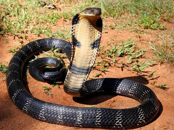 image_1595_1e-King-cobra